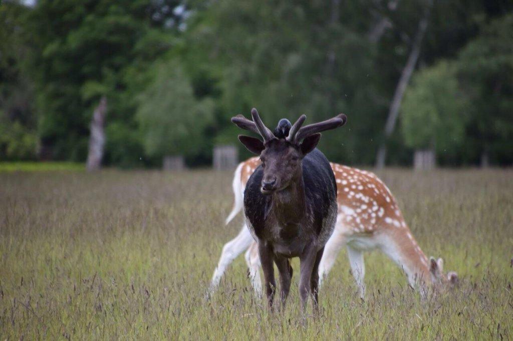 black fallow deer.jpg