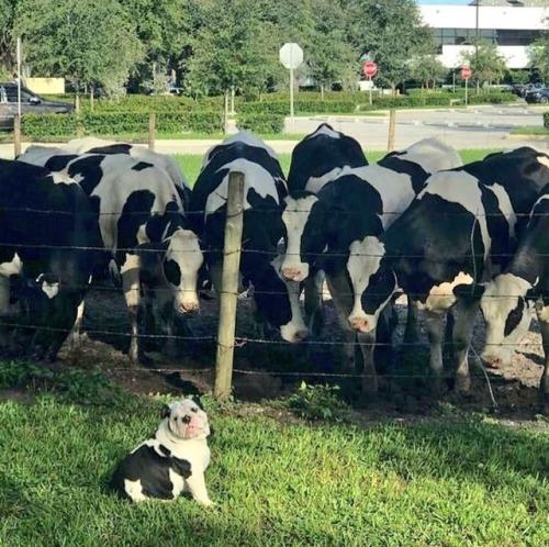 Holstein bulldog.jpg