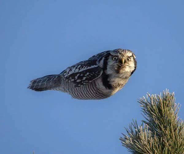 owl in mid flight.jpg